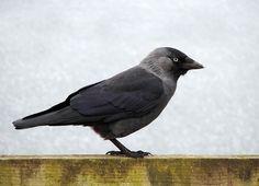 Gratis bild på Pixabay - Fågel, Kajan, Svart, Djurliv, Djur