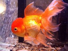 fancy gold fish | Goldfish Diversity – The Many Forms of a Single Species, Carassius ...