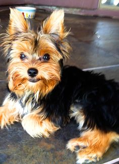 Baby Boy Yorkies Pure Love Dog Love Little Morkie Puppies, Yorkies, I Love Dogs, Cute Dogs, Yorkie Haircuts, Terrier Dog Breeds, Teacup Yorkie, Silky Terrier, Yorkshire Terrier Dog