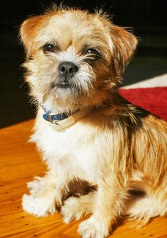 Border+Terrier+Mix+Puppies Border Terrier/Chihuahua Mix