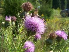Bull Thistle (Cirsium vulgare) ~ LuminEarth's Guide to Wild Edible & Medicinal Plants