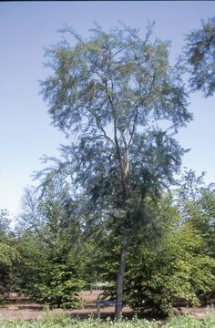 Hippophae salicifolia 'Robert'