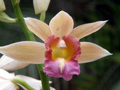 Nun's orchid ( Phaius tankervilliae )