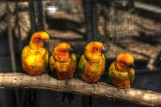 Four Sun Conure's perched on a branch at Parrot Mountain in Tennessee.