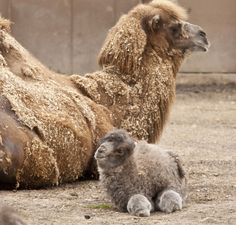 A baby camel! I don't think I've ever seen one before.