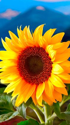 School and College Education: Don't go far off, not even for a day, Happy Flowers, Beautiful Flowers, Cool Pictures, Beautiful Pictures, Sunflowers And Daisies, Sunflower Pictures, Sunflower Jewelry, Sunflower Wallpaper, Amazing Nature