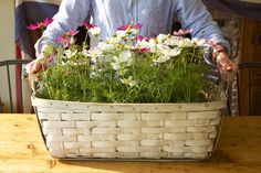 Annuals/flat of cosmos or zinnia into newspaper lined basked