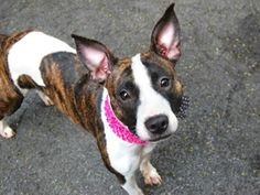 TO BE DESTROYED 06/19/14 Manhattan Center -P  My name is AGNETHA. My Animal ID # is A1002703. I am a female br brindle and white pit bull mix. The shelter thinks I am about 1 YEAR 6 MONTHS old.  I came in the shelter as a STRAY on 06/10/2014 from NY 10457, owner surrender reason stated was STRAY. https://www.facebook.com/photo.php?fbid=819650438047837set=a.611290788883804.1073741851.152876678058553type=3theater