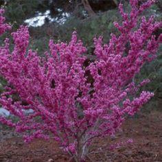 Judastræ (Cercis chinensis 'Avondale') 100-180 cm