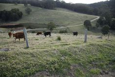 Dairy country. Mount View, Hunter Valley, NSW
