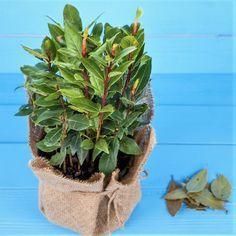 9 pravidel, jak správně pěstovat vavřín vznešený (Laurus nobilis), koření bobkový list. Jak a proč bobkový list pomáhá zdraví. Recepty s bobkovým listem. Liquid Fertilizer, Organic Fertilizer, Bay Leaf Tree, Bay Trees, Bay Laurel Tree, Growing Orchids, Aromatic Herbs, Growing Seeds, Aromatherapy