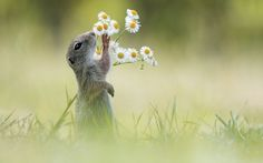An inquisitive squirrel was spotted taking time to smell the daisies in this photo taken by Austrian photographer, Julian Ghahreman-Rad, 23,...