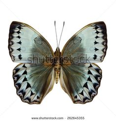 Close up of beautiful Cambodia Junglequeen butterfly upper wing portion in natural color profile isolated on white background - stock photo