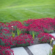 Dianthus--I like this flower