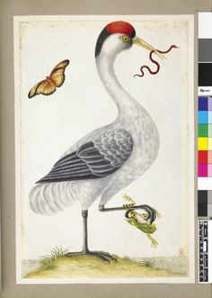 """Antique watercolour on vellum of a """"White bird, with red and black crest, a snake in its mouth and grasping a frog in its right claw"""", 1703-1707 (circa). Producer name Dorothea Graff. Formerly attributed to her mother Maria Sibylla Merian."""