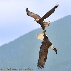Pair of Bald Eagles here nest early by mid-Feb. The Eagles, Bald Eagles, Eagle Images, Eagle Pictures, Love Birds, Beautiful Birds, Animals Beautiful, Nature Animals, Animals And Pets