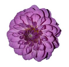 Google Image Result for http://www.wholeblossoms.com/images/Purple-Dahlias-Flowers.jpg