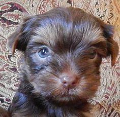 Pouding - Chocolate Teacup Yorkie Pups born 7-28-2013