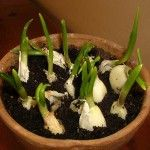 Garlic is one of the best plants you can grow at home. It is super-easy and cheap. You may not like its taste, but eating a whole garlic bulb a day really does miracles for your body. Garlic is a simple food that provides strong healing properties. Garlic...