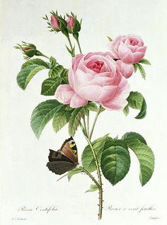 Rosa Centifolia by Pierre Joseph Redouté. Antique botanical rose illustration.