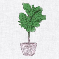 Name: The Fiddle Leaf Fig (Ficus Lyrata) Light: Bright – direct light preferable Water: Moderate – water times per week to keep soil barely moist Care: Easy Ficus, Living Room Inspiration, Garden Inspiration, Fiddle Leaf Fig Tree, Fiddle Fig, Inside Plants, West Elm, Houseplants, Indoor Plants