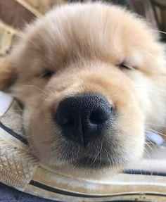 いいね!24.9千件、コメント123件 ― I Love Golden Retrieversさん(@ilovegolden_retrievers)のInstagramアカウント: 「Sweet dreams ✨ @erniethe_golden」