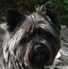 Cairn Terrier-I'm fostering a cairn that looks very much like this one. She's quite scrappy and playful. If I didn't have two doggies already I would love to keep her.