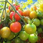 Tomato Growing: Six Requirements for Success