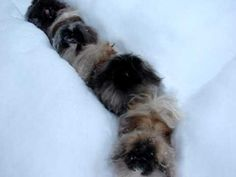 pekingese and lots of snow. I love this video so much! I couldn't help but smile. This is why pekingese are hands down my favorite breed of dog.