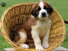Bunni, Saint Bernard puppy for sale in Paradise, Pa