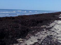 Galveston, 20 May 2014:  Seaweed-mageddon on Sunny Beach