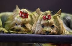 Yorkshire Terriers at Westminster Kennel Club show