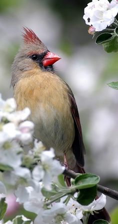 female cardinal....# bird #