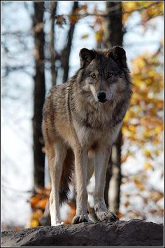 Wolf & Fall Colors by Earl Reinink