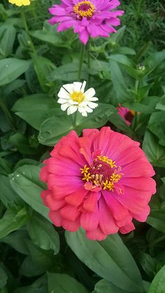 Zinnias, Marigold, Cosmos, Flowers, Beautiful Flowers, Plants, Colors, Florals, Universe