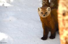 Have you ever seen a Pine Marten in the wild?