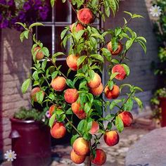 beautiful Apricot and Peach Trees Leaf-Curl Resistant Peach 'Avalon Pride' fruit tree bare root