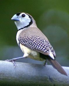 The Double-barred Finch (Taeniopygia bichenovii) is an estrildid finch found in dry savanna, tropical (lowland) dry grassland and shrubland habitats in northern and eastern Australia. They are sometimes referred to as Bicheno's Finch; and also as Owl Finch, owing to the dark ring of feathers around their faces