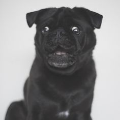 Today is the last day to share your funny face photos for this week's pug photo challenge as tomorrow there will be a new one {new theme on the blog today too}! All you have to do is tag your funny face photos with #tpdfunnyfaces #thepugdiary