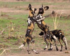 African wild dogs are one of Africa's most endangered species with less than left. Here are 10 things you didn't know about African wild dogs. African Hunting Dog, African Wild Dog, Hunting Dogs, Beautiful Creatures, Animals Beautiful, Animals And Pets, Cute Animals, Wild Dogs, African Animals