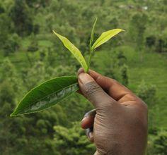 Tea leaves freshly picked in Kenya