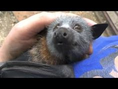 A sweet, affectionate and attention-seeking juvenile flying-fox named Jeddah made all sorts of adorable happy noises while sitting blissfully in his caretaker's arms getting a yummy head scratch. Jeddah was rescued by Megabattie, a really wonderful person who cares for wayward, injured and orphaned bats of all sorts