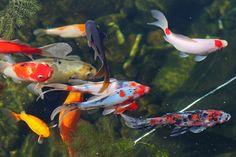 Fancy fish pond in a garden
