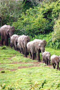 Elephants marching...Kenya