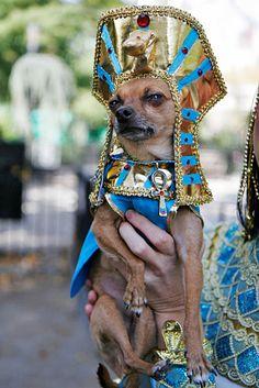 Cleopatra, I presume? Chihuahua Halloween Costumes, Best Dog Costumes, Animal Costumes, Pet Costumes, Costume Ideas, Cute Chihuahua, Chihuahua Puppies, Cute Puppies, Cute Dogs