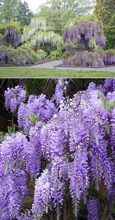 Blue Japanese Wisteria Vine Allergies be darned, I LOVE wisteria and I will be surrounded by it when we finally build our house!
