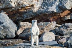 « Dans les fjords au sud de Pond Inlet, plus aucune glace n'est présente fin août. Alors que je ne m'attendais pas du tout à rencontrer un ours, nous en envoyons deux dans la même journée. Ils sont l'un et l'autre en détresse, nageant sans savoir...