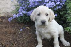 Labradoodle Puppies For Sale, Labrador Retriever, Dogs, Animals, Labrador Retrievers, Animales, Animaux, Pet Dogs, Doggies