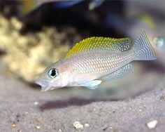 Neolamprologus Caudopunctatus Cichlid