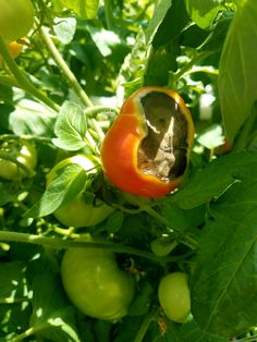 Hi! I'm in MA and my tomatoes all look like this underneath. Anyone know what's going on in my planter and are my Love Apples safe to eat? Thanks! #gardening #garden #DIY #home #flowers #roses #nature #landscaping #horticulture